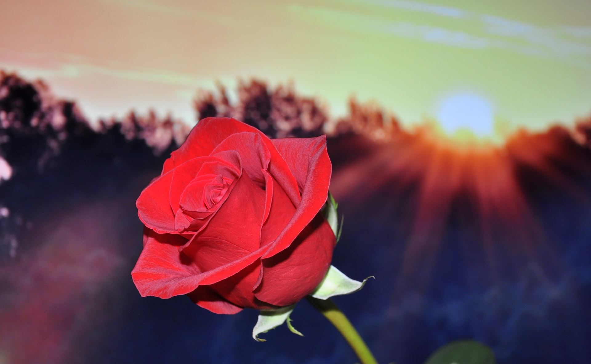 Roses are an aphrodisiac - amaiaa beauty