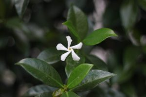 Jasmine Oil Benefits - Natural Antiseptic