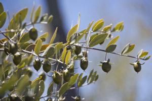 jojoba oil benefits for your skin and face - amaiaa beauty