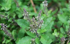 Holy Basil Spice For a Great Immune System